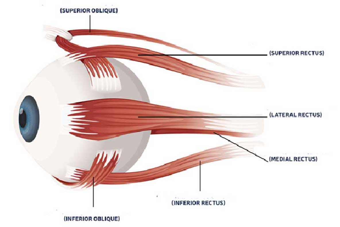 Eyeball Muscles